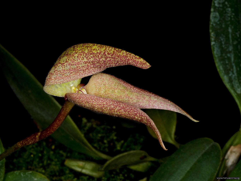 Bulbophyllum arfakianum 2