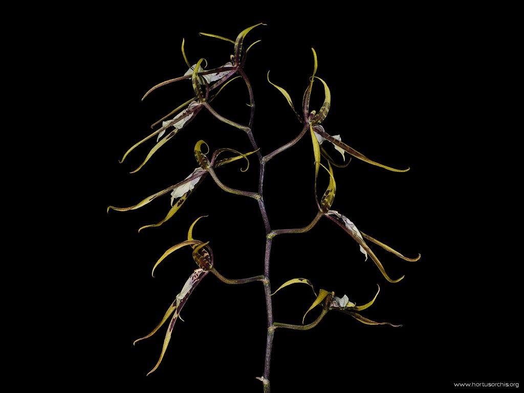 Brassia Toskana 1