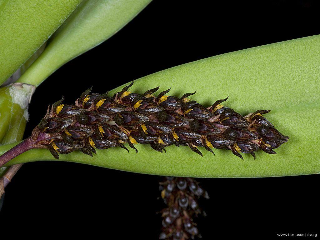Bulbophyllum crassipes