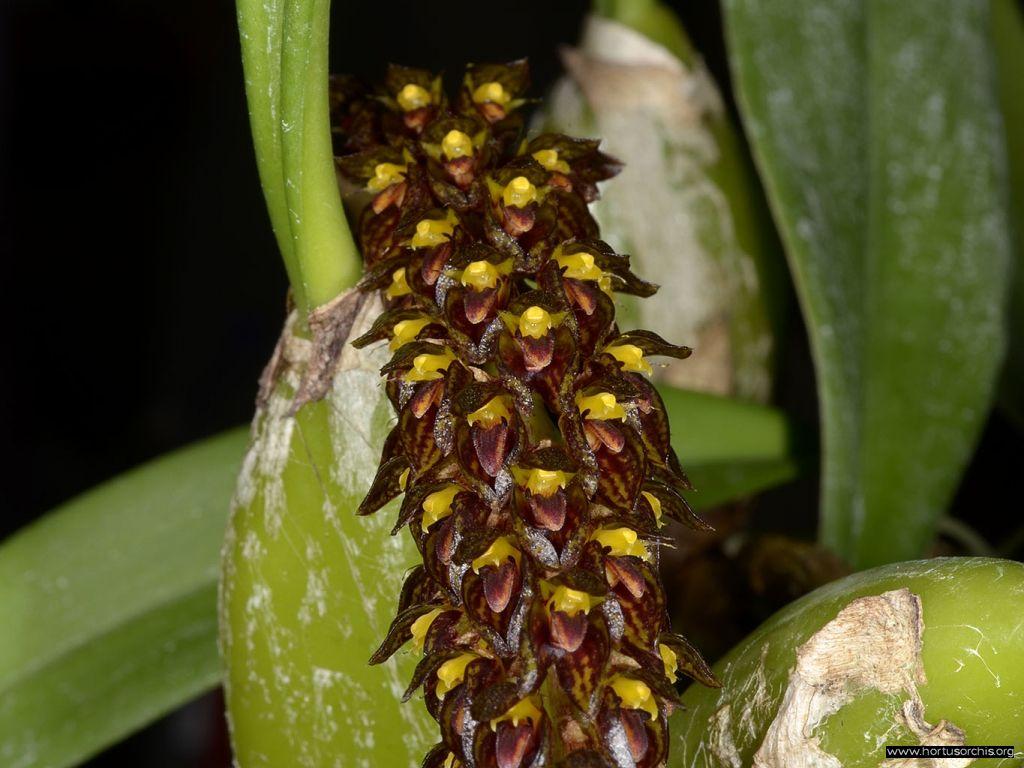Bulbophyllum crassipes 2