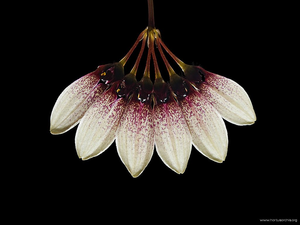 Bulbophyllum flabellum-veneris 2