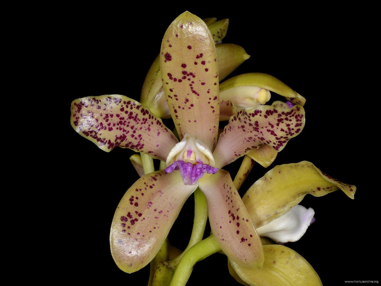 Cattleya guttata f munda
