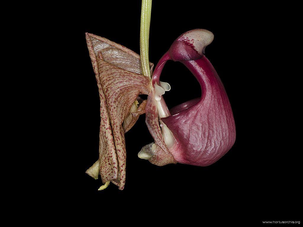 Coryanthes leucocorys