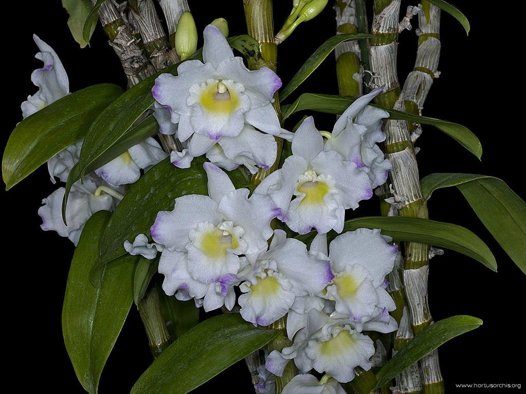 Dendrobium Sailor Boy Elisa