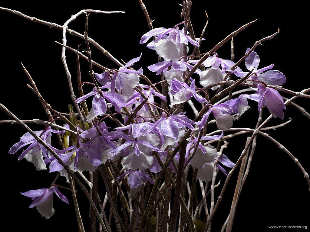 Dendrobium aphyllum 2