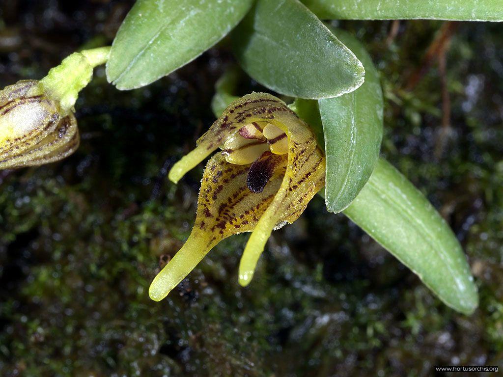 Diodonopsis hoeijeri