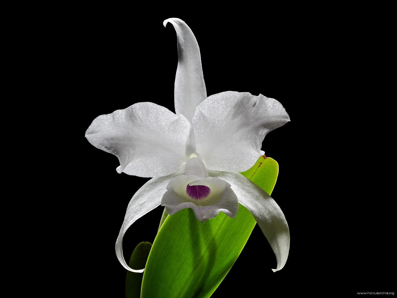 Cattleya skinneri var. alba