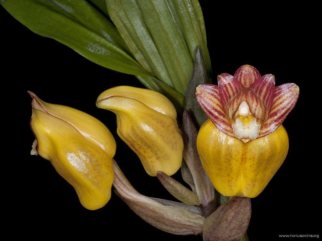 Acanthephippium mantinianum