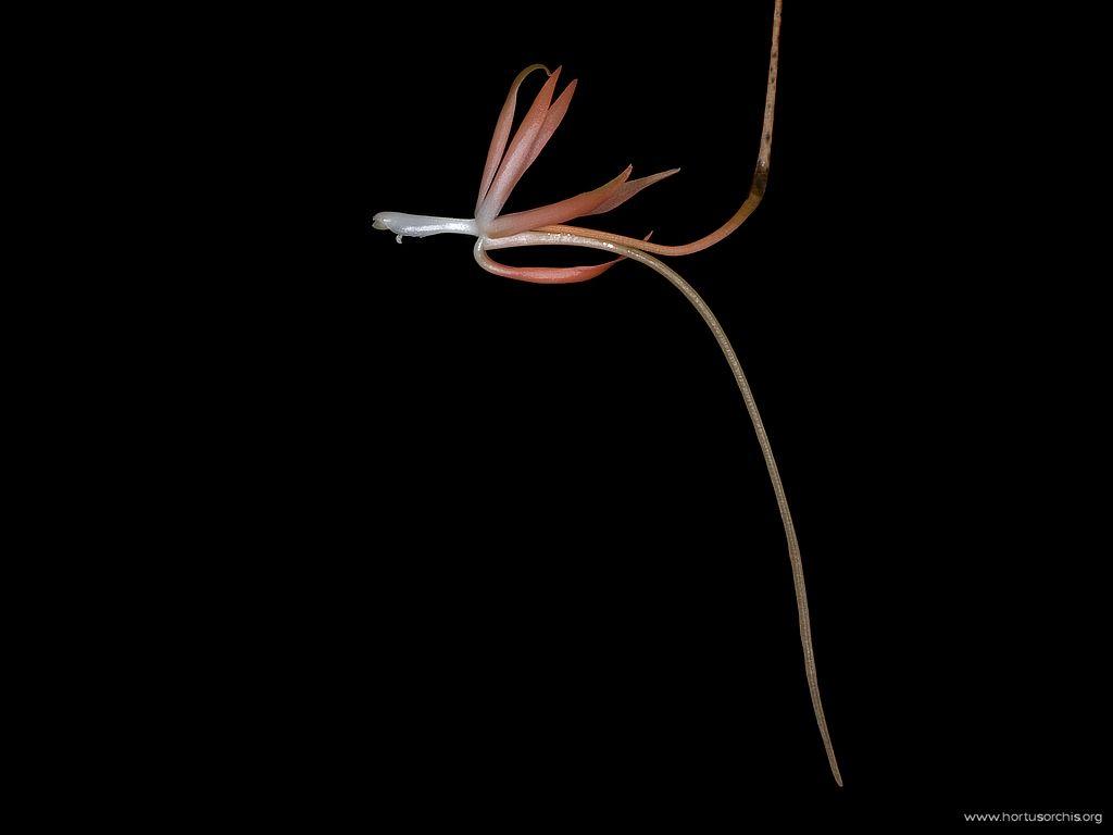Aerangis brachycarpa