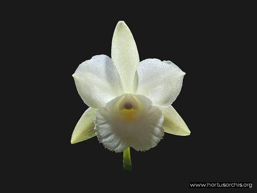 Broughtonia sanguinea alba