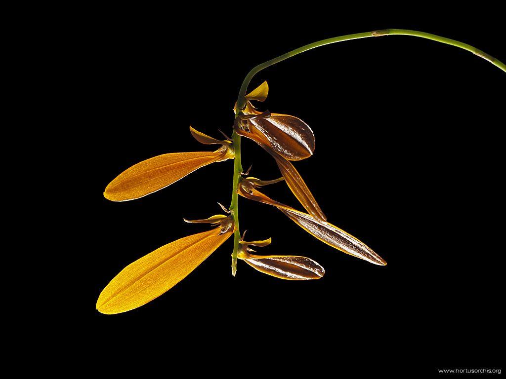 Bulbophyllum Khaoyaiensis 1