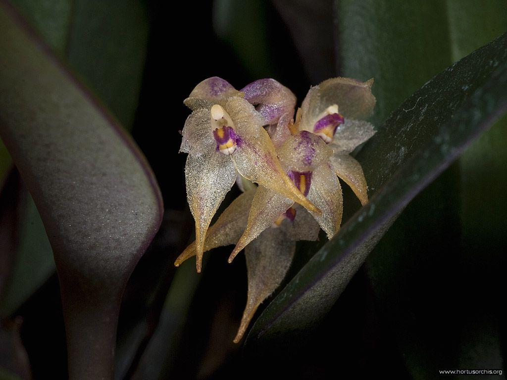 Bulbophyllum pumilum