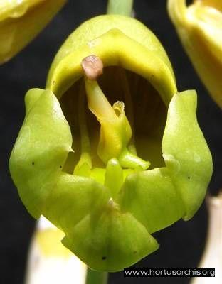 b_0_0_0_10_images_stories_foto-specie-botaniche_Catasetum_macrocarpum_1.jpg