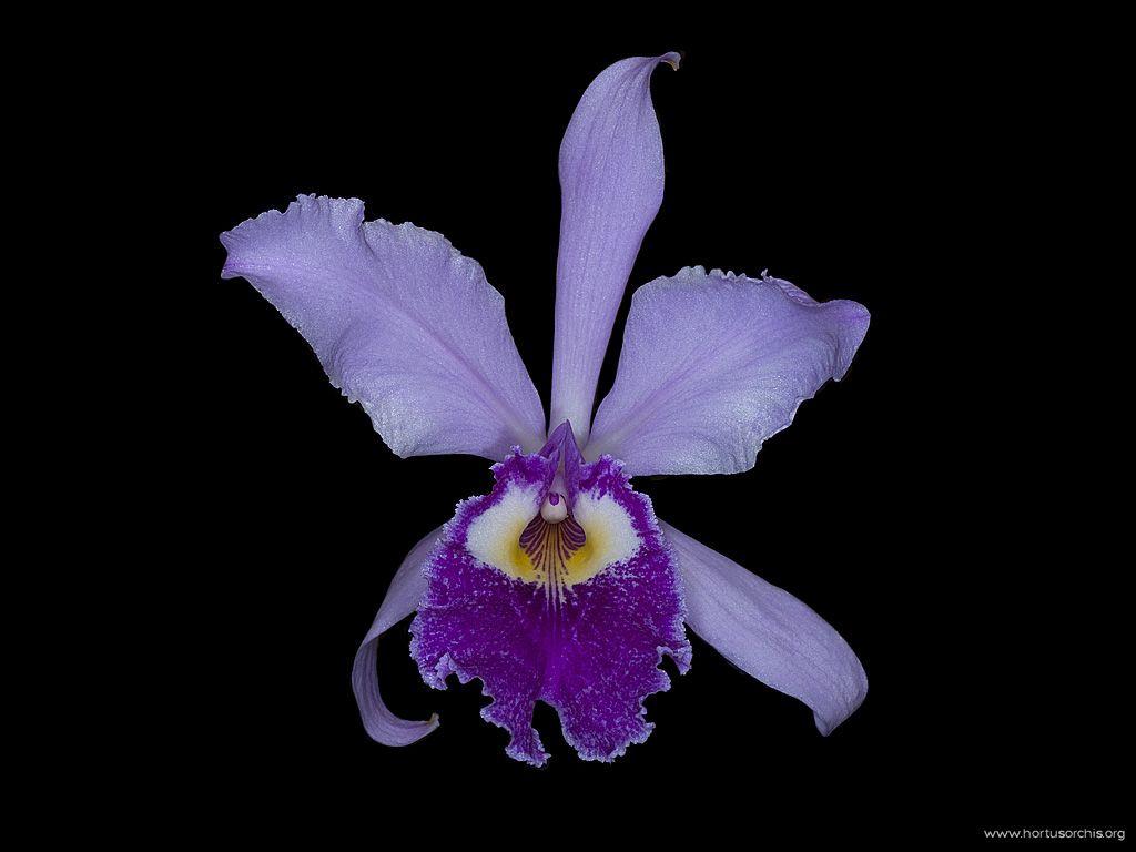 Cattleya quadricolor