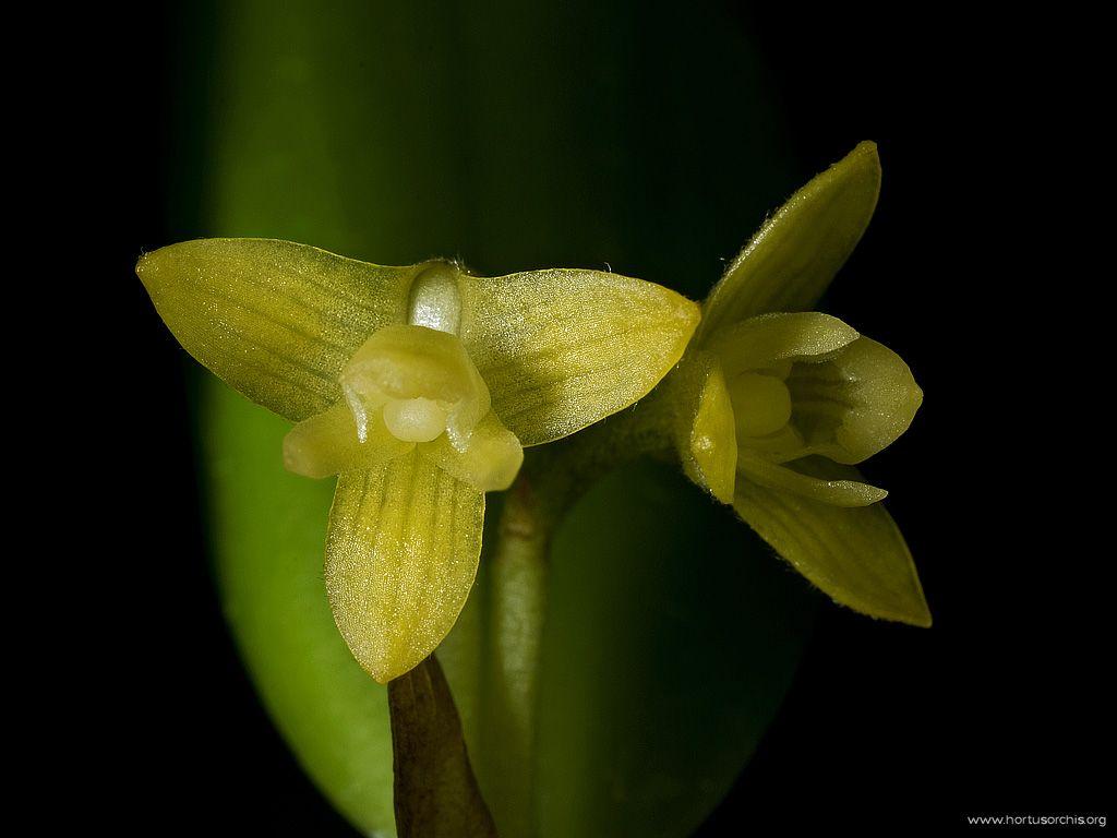 Chroniochilus virescens