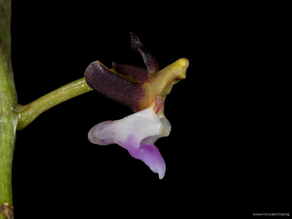 Cleisostoma williamsonii