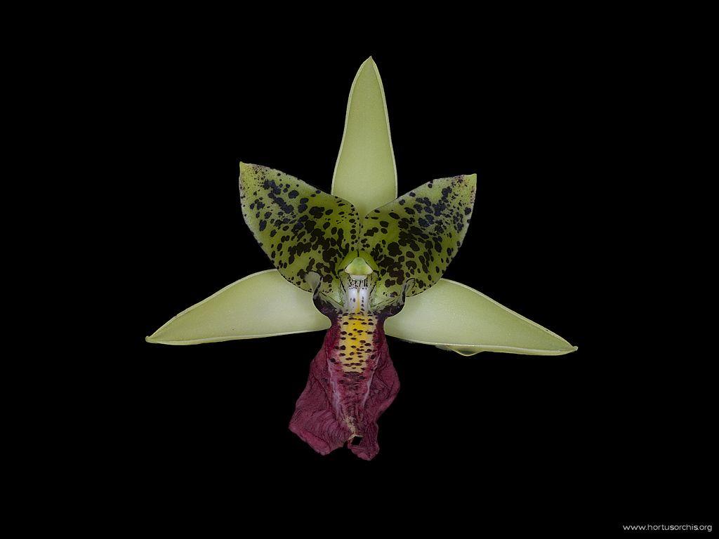 Cymbidiella rhodochila