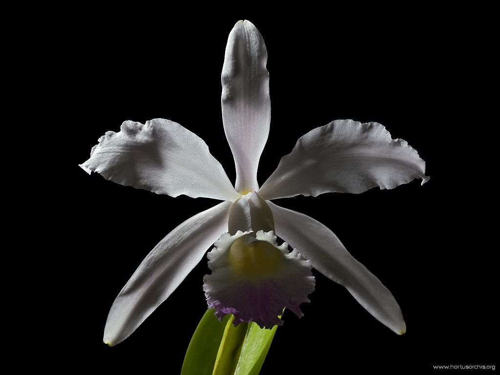 Guarianthe skinneri albescens