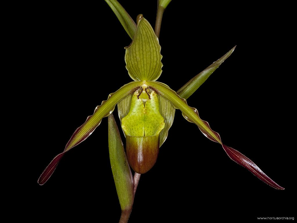 Phragmipedium Socheres 2