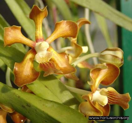 b_0_0_0_10_images_stories_foto-specie-botaniche_P-Z_Vanda_hindsii.jpg
