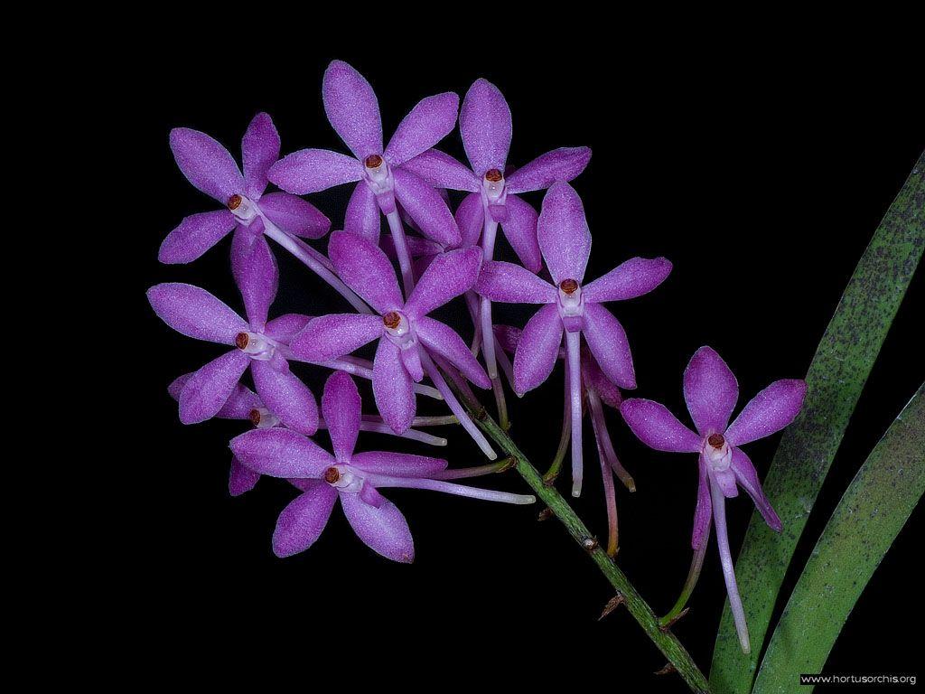 Ascofinetia Cherry Blossom