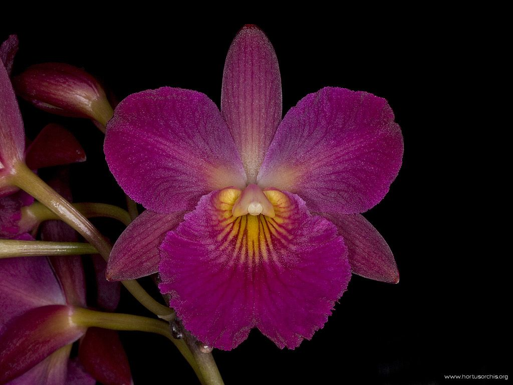 Cattleytonia Jamaica Red