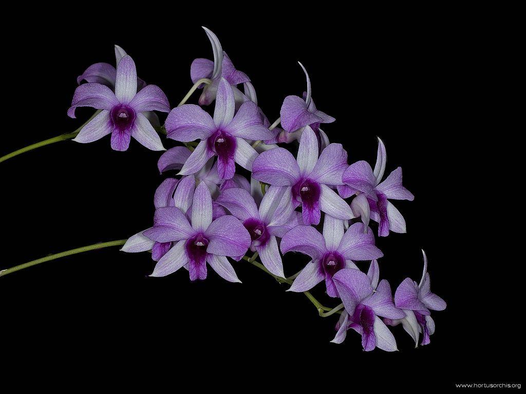 Dendrobium Luisae