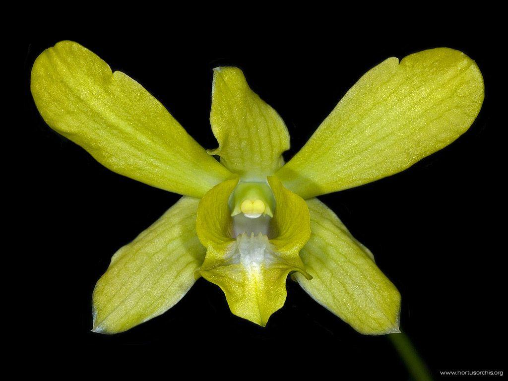 Dendrobium Mary Mark