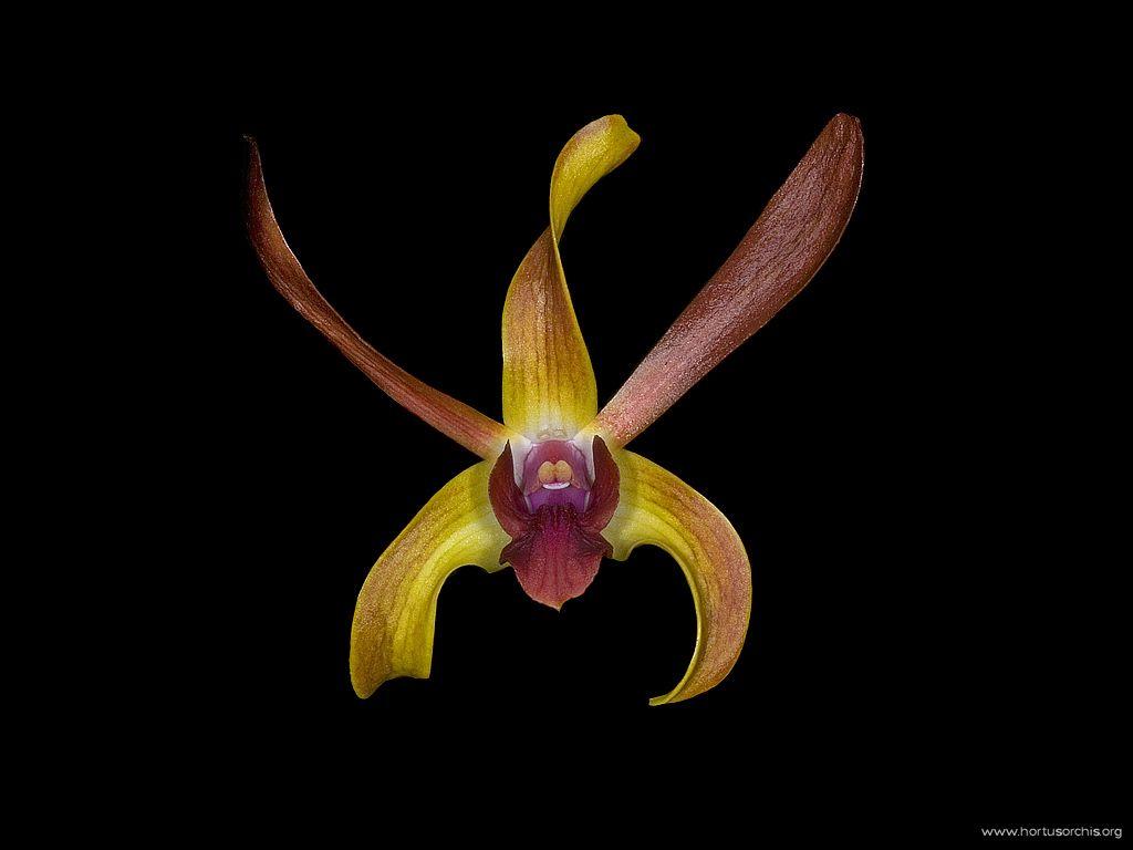 Dendrobium Miss Hawai