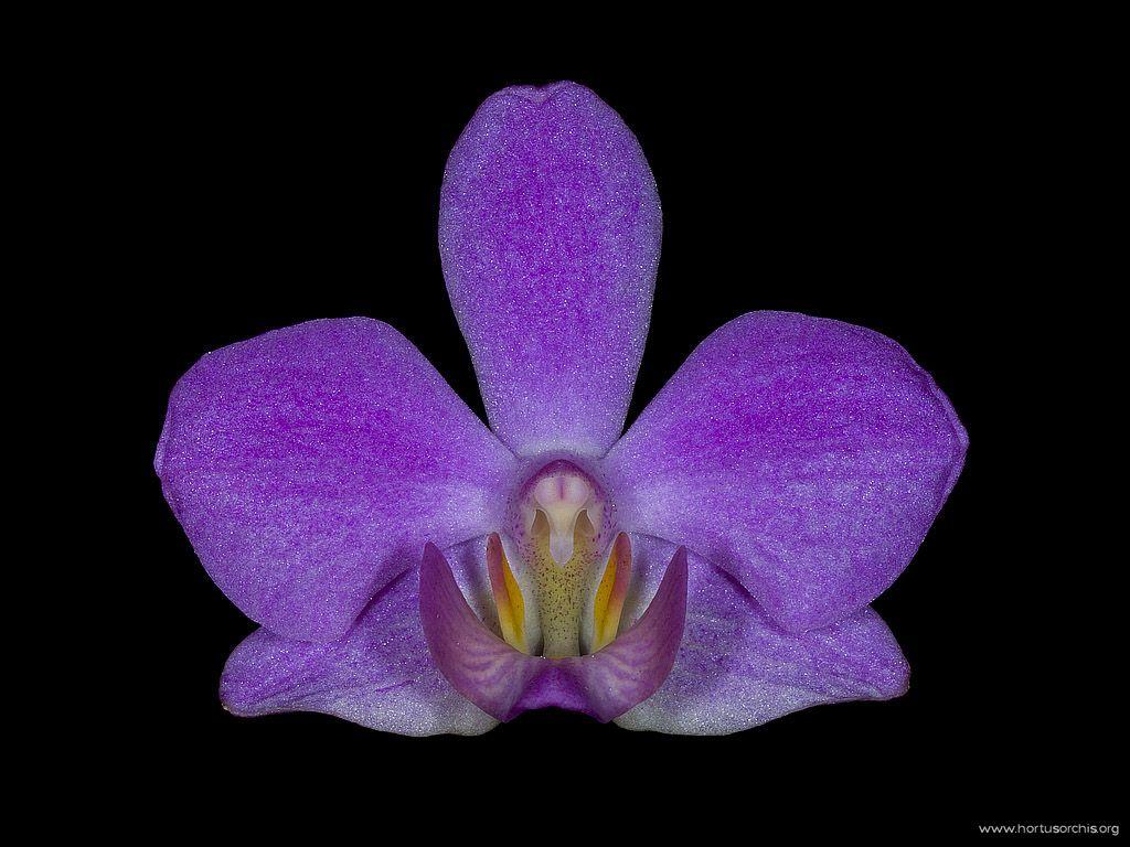 Doritaenopsis E. Waldheim