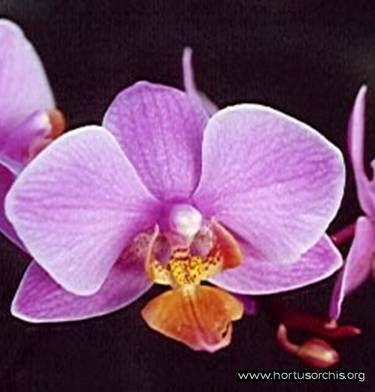 b_0_0_0_10_images_stories_foto-specie-ibride_Phalaenopsis_Oostport.jpg