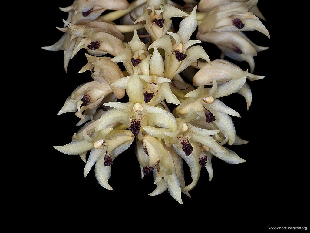 x56000p Xylobium leontoglossum
