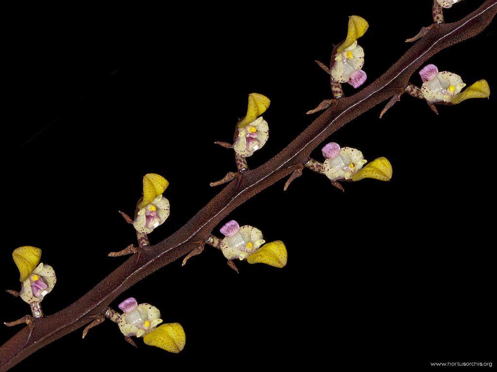 x56186p Bulbophyllum falcatum bufo