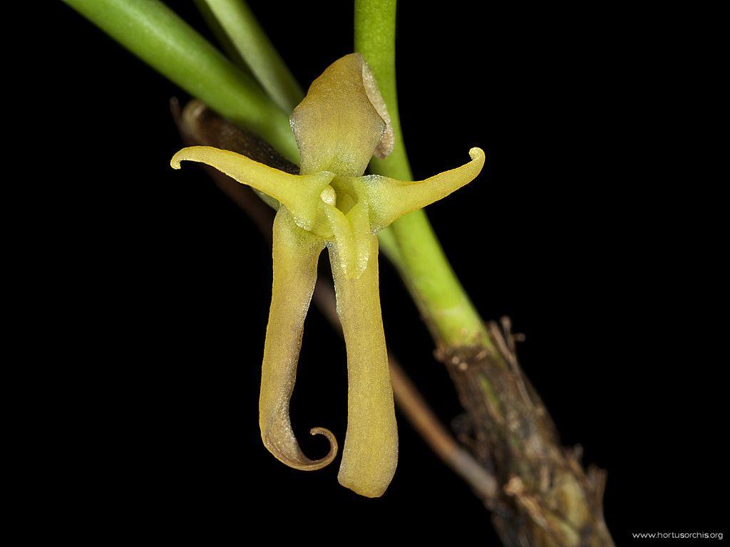 x56248p Cryptocentrum latifolium