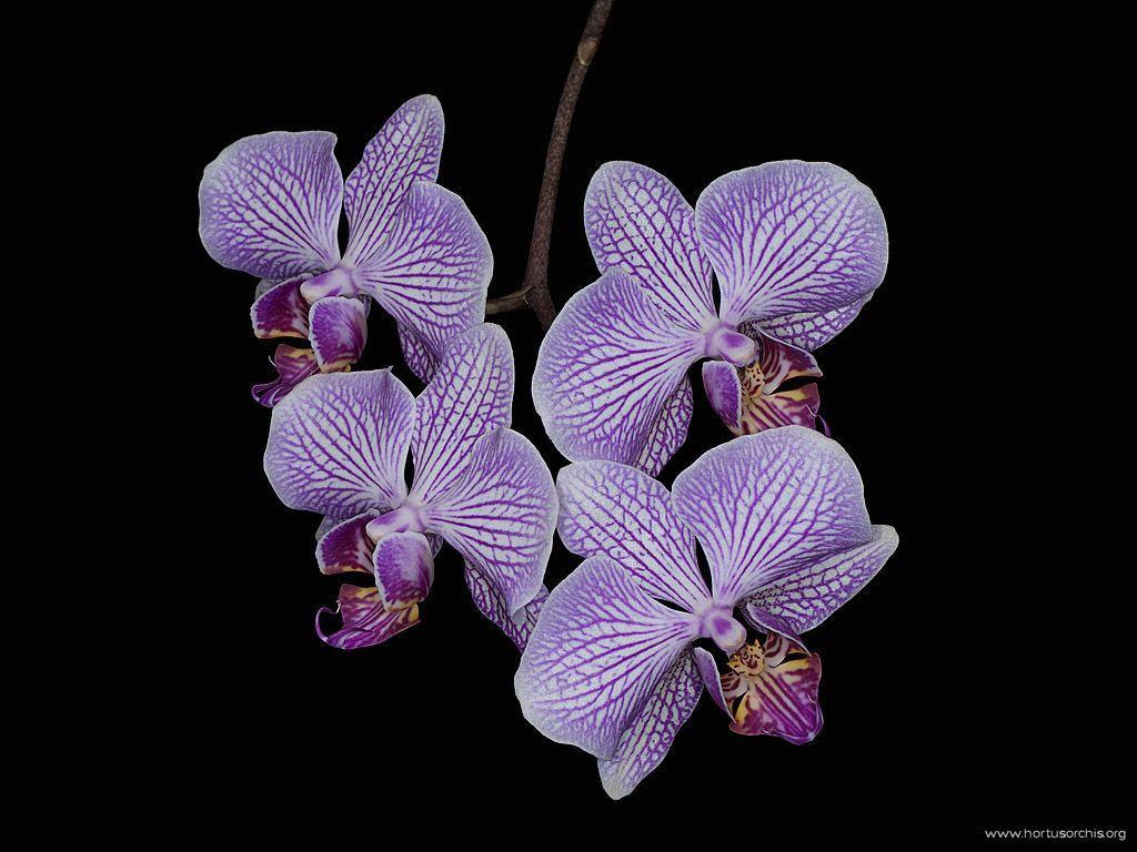 x56267p Phalaenopsis Kuala Lumpur