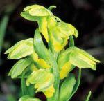 Read more: Chamorchis alpina
