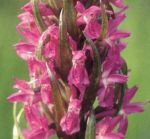 Read more: Dactylorhiza incarnata