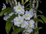 Leggi tutto: Dendrobium Sailor Boy Elise