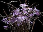 Read more: Dendrobium aphyllum