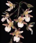 Leggi tutto: Epipactis palustris