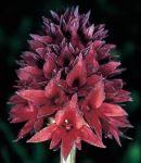 Read more: Nigritella nigra, subsp. rhellicani