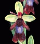 Read more: Ophrys insectifera