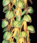 Leggi tutto: Orchis anthropophora