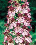 Leggi tutto: Orchis purpurea