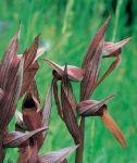 Read more: Serapias vomeracea