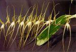 Read more: Brassia arcuigera