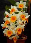 Read more: Dendrobium farmeri