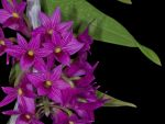 Read more: Dendrobium goldschmidtianum