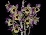 Read more: Dendrobium nobile var formosanum