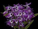 Read more: Dendrobium nobile